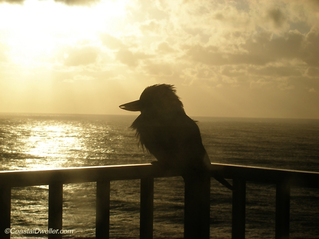 Early morning kookaburra