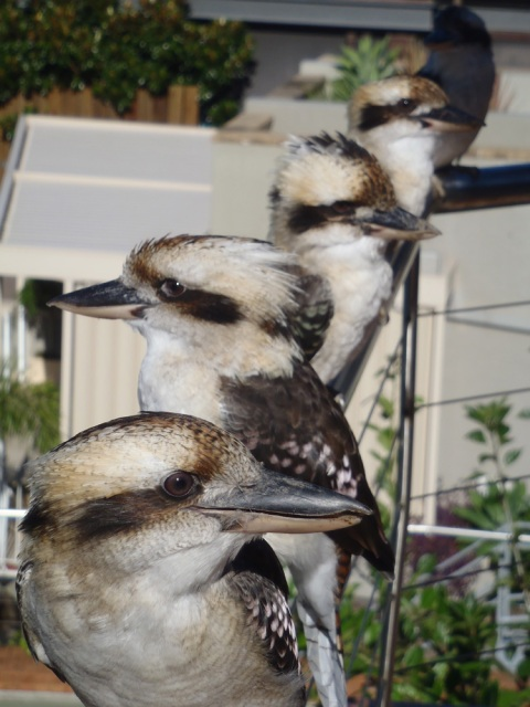 Kookaburras on the balcony